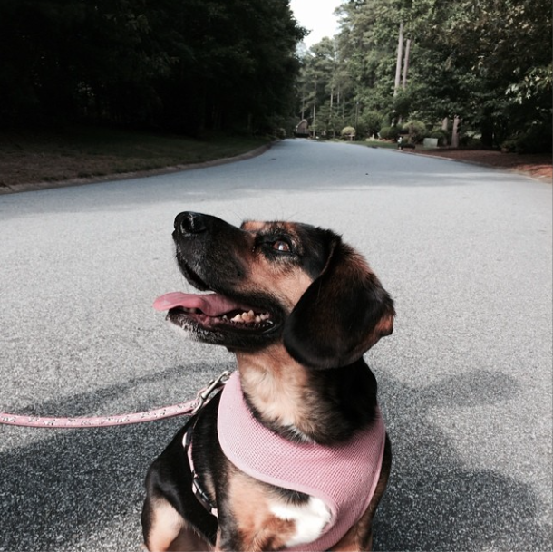 beagle-mix-bailey-going-for-a-walk-upcycledtreasures