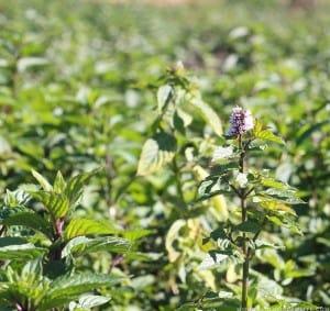 mint-farm-harvested-for-peppermint-oil-mountainmodernlife-com