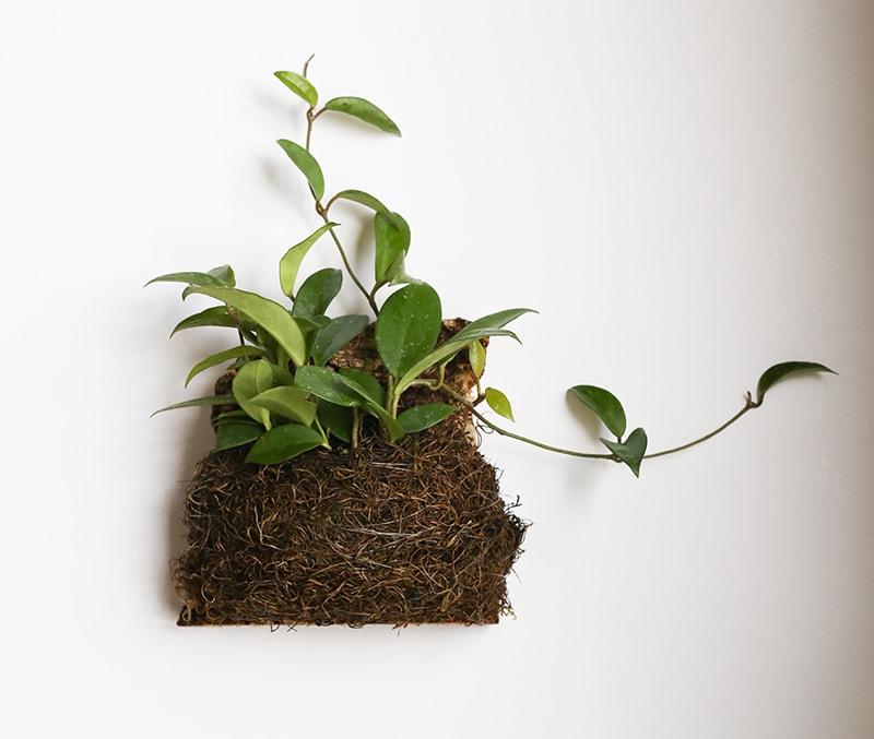 cork mounted hoya plant