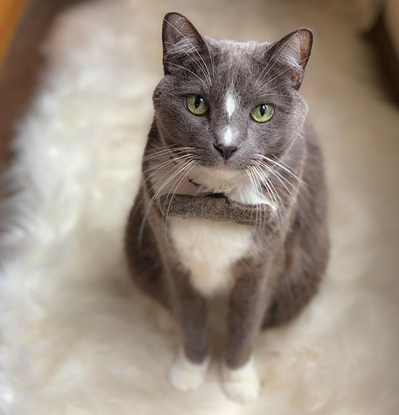 Duckie cat wearing bow tie